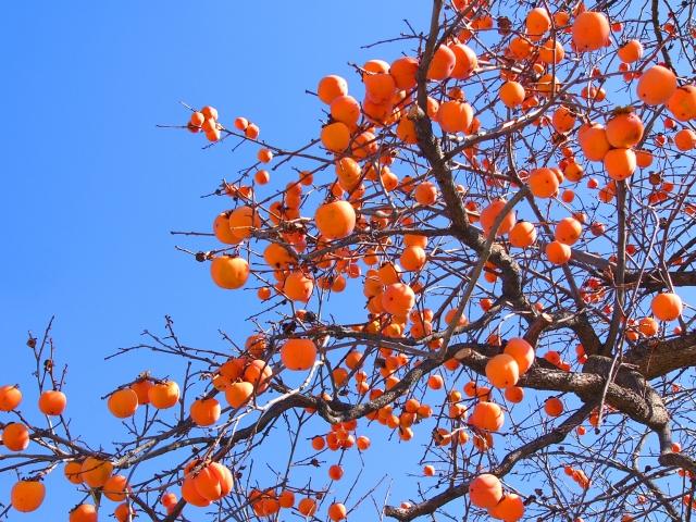 柿の木を眺めていたら急にその木で首を吊ってシんでみたくなった
