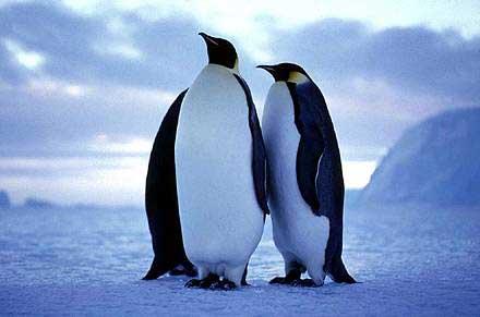 家内が皇帝ペンギンの真似をするので困っています