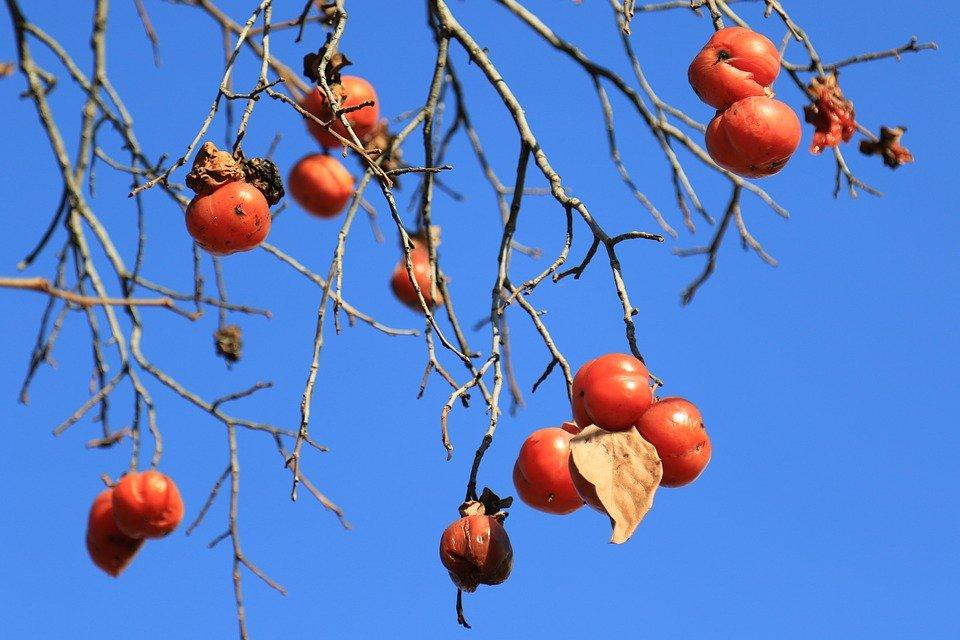 家の庭の柿の木を見ていたらその木で首をつってしんでみたくなった